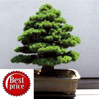 Pine Tree Garden Seeds (20pcs Bonsai Pine Tree Christmas Tree Pot Plant Seeds House Garden Rare Air)