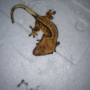 Adorable Friendly Crested Geckos now available!!! - ReptileRace
