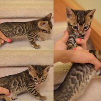 Only one female and one male purebred Bengal kittens left!!!!