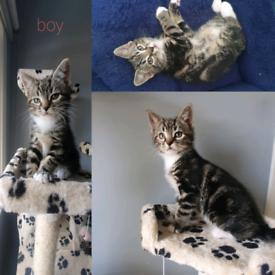 Kittens(BengalxKorat)