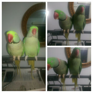 Alexandrine Parakeets for sale