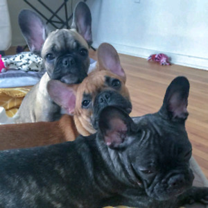 Pure Breed French Bulldog Litter ! Only 8 left!