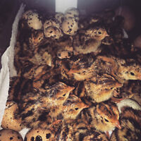 Coturnix quail day olds