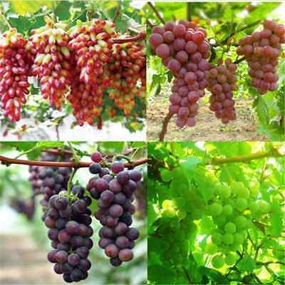 50 Lots Mixed Grape Seeds Vitis Vinifera Delicious Fresh Fruit