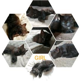 Lovely black fluffy kittens for sale