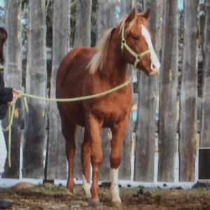 2016 CBHI superstakes filly by Ivory League