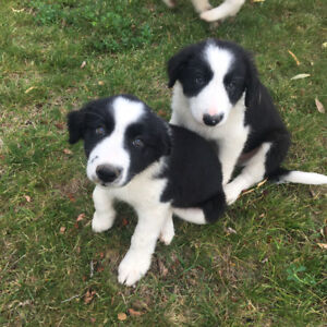 10 Border Collie Puppies For Sale