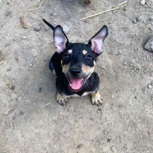 Rescue Puppy for Adoption! (Domino)
