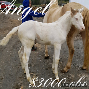 2017 APHA FILLY