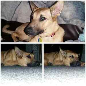 8 month puppy looking for a serious buyer and new home Kitchener / Waterloo Kitchener Area image 4
