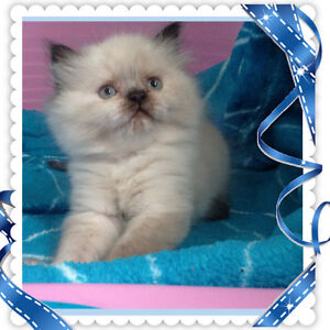 PURE BREED HIMALAYAN KITTENS TO BE RESERVED
