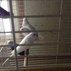 Young male budgies