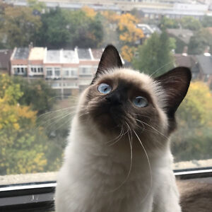 rehoming our ragdoll baby