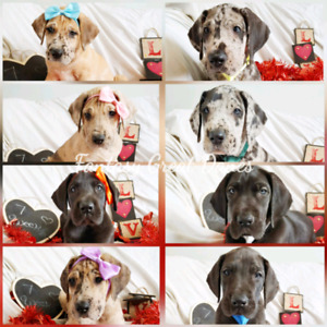 Great Dane puppies. Ready to go soon.