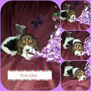 Basset hound puppys 4 girls left
