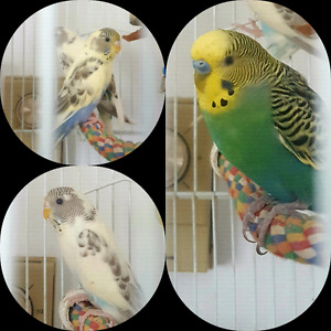 Lovebird and budgies