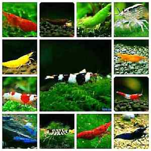 Aquarium fish - shrimps ( crevette ) plants - wood - accessories