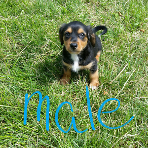 1 male Dorkie puppies for sale $ 500. 00