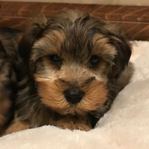 Toy Yorkie Poo Puppies