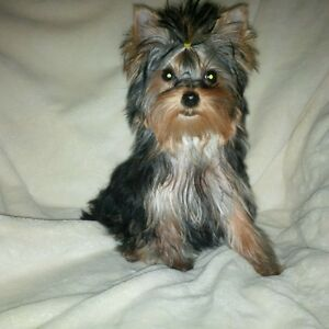 ♡◇ Teacup ◇ Yorkie/Yorkshire Terrier◇ Baby Girl ◇Charting 3lb ◇♡