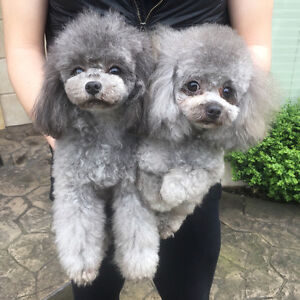 Rare Silver,Gray toy poodle boy available