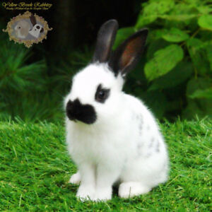 Waiting List: English Spot bunnies, very friendly rare breed!