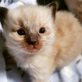 Pure breed Ragdoll Kittens