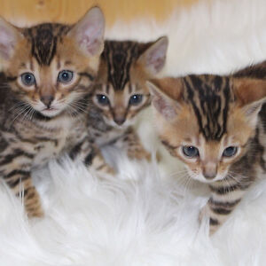 Registered  Bengal Kittens Worldwide Known