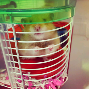 Free hamster without a cage