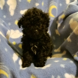Toy poodle baby BOY