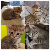 Beautiful Exotic Pure Bred Bengal Kittens
