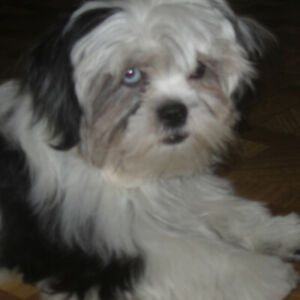 imperial shihtzu pups 5 months old, will be in the 6 lb range
