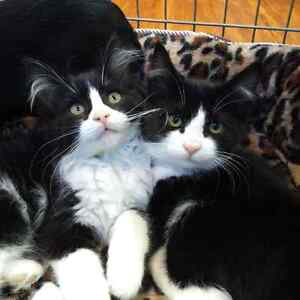 KITTENS for Adoption from The Nanton Animal Protection Society