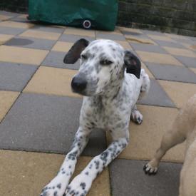 Puppy dalmatian greyhound