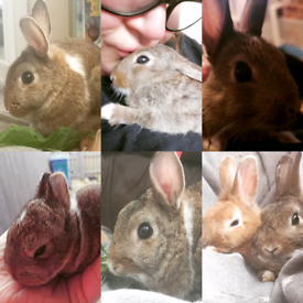 Lost Male Rabbit (Neutered and Vaccinated)