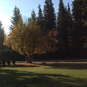 Tree removal and pruning Prince George British Columbia image 5