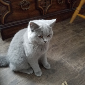 british blue shorthair kitten registered in CCA
