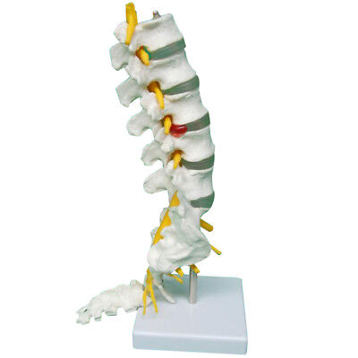 Removable Sacrum Flap Sacral Crest Coccyx Pvc Human Spine Model Lumbar Vertebrae