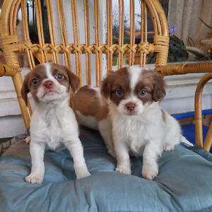 Adorable Cheagle Puppies for sale ( Chihuahua / Beagle cross )