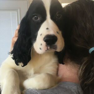 Puppies-Purebred English Springer Spaniels Ready to Go!