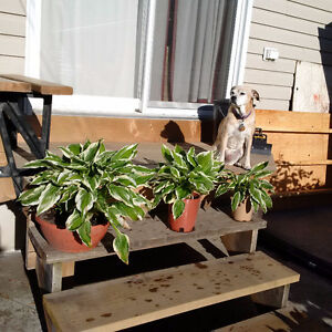 Hosta and Day Lilies for Sale