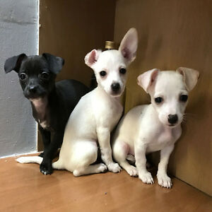 Beautiful Pure Breed Chihuahua Puppies For A Good Price! $425
