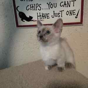 Adorable Ragdoll Munchkin x Siamese kittens to approved homes.