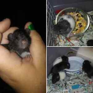 Feeder\pet rats avb