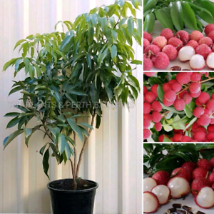 Marcotted Lychee & Longan Trees FROM ONLY $65 each.