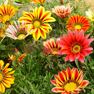50 Stück Bunte Gazania Gazania Seeds Garten-Blumen Samen Neu·