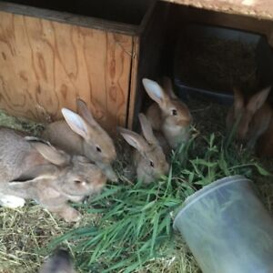 Giant Flemish Bunnies