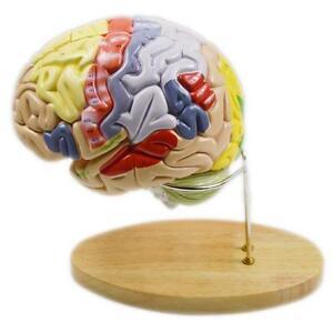 Magnify Human Anatomical Brain Anatomy Medical Teach Model Professional Stand 220240