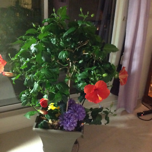 1Pictures AND  HIBCUS TREE 50.00 each