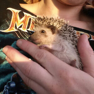 Baby Male hedgehog